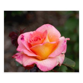 Orange Pink Rose Photo Art