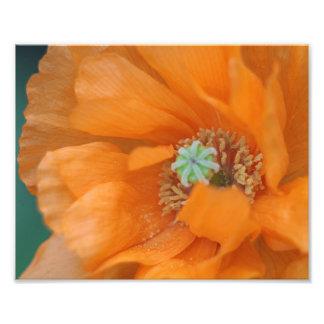 Orange poppy photo art