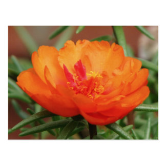 Orange Portulaca Postcard
