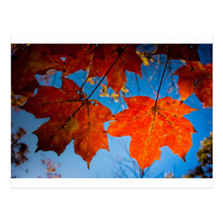 Orange Sugar Maple Leaves Postcard