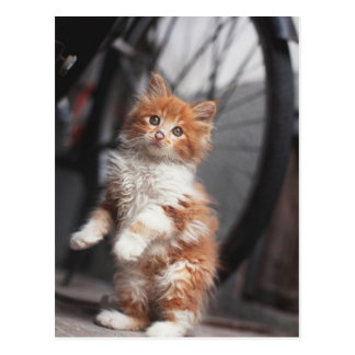 Orange Tabby Kitten Postcard