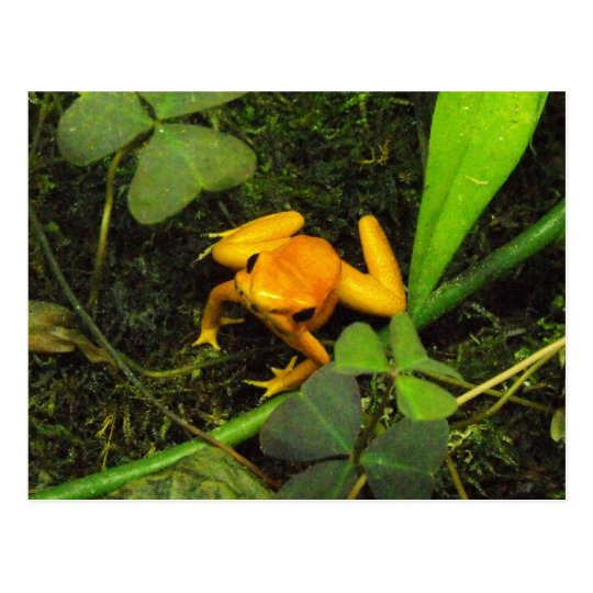 Orange terribilis Poison Dart Frog Postcard