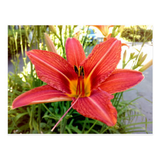Orange Tiger Lily Postcard