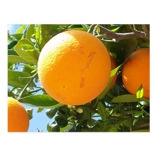 Orange Tree - Spain, Postcard