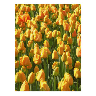 Orange Tulip Flowers Postcard