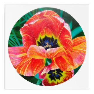 Orange Tulips, beautiful cupped pedals Acrylic Print