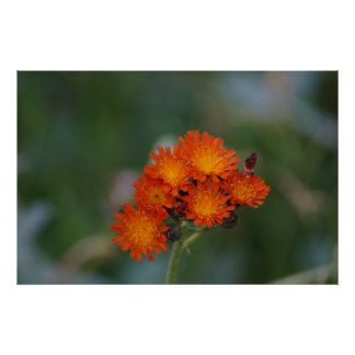 Orange wildflowers poster