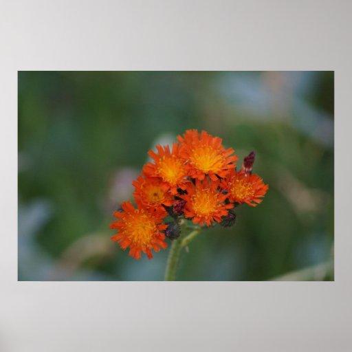 Orange wildflowers posters