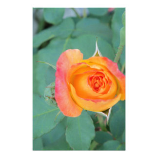 orange yellow rose flower stationery