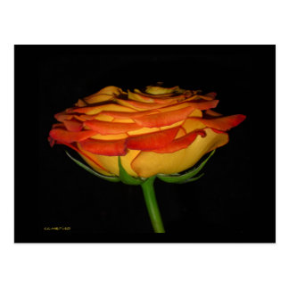 Orange/Yellow Rose Postcard