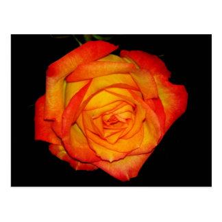 Orange-Yellow  Rose Postcard