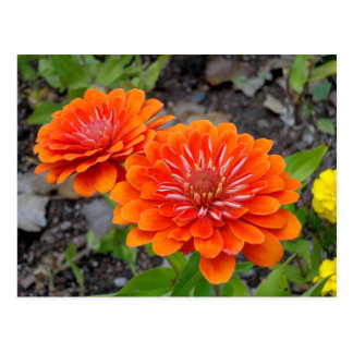 Orange Zinnia flowers Postcard