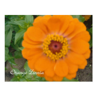 Orange Zinnia Postcard