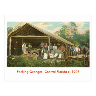 Oranges, Central Florida c. 1905 Postcard