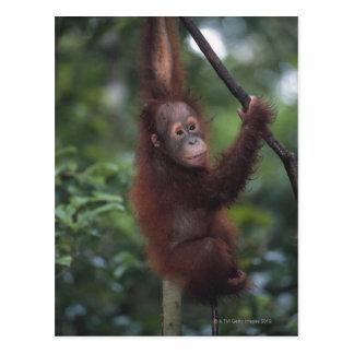Orangutan Baby Climbing Liana Postcard