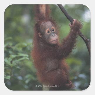 Orangutan Baby Climbing Liana Square Sticker