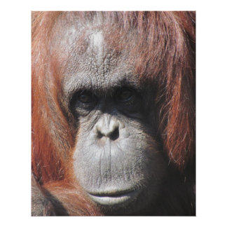 Orangutan Eyes Poster