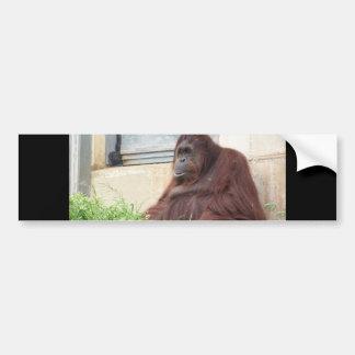 Orangutan Portrait Bumper Sticker