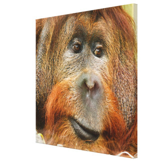 Orangutan portrait canvas print