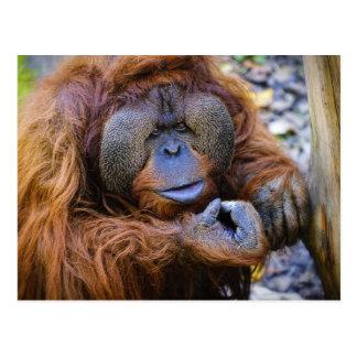Orangutan Postcard