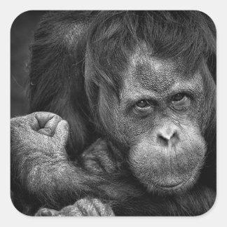 Orangutan Primate Sticker