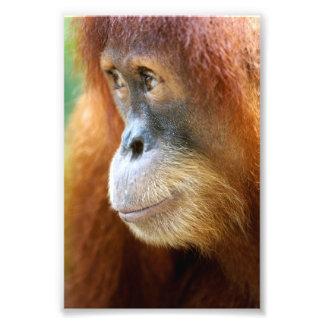 Orangutan Profile Photo Print
