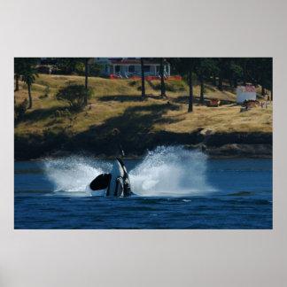 Orca In the San Juan islands Poster