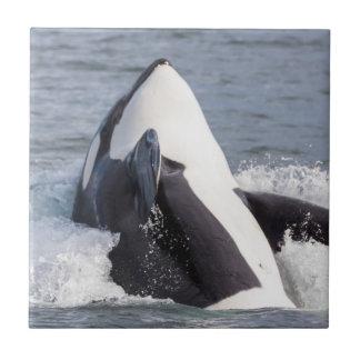 Orca whale breaching tile