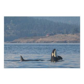 Orca Whales Photo Print