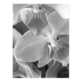 Orchid blooms closeup in grayscale postcard