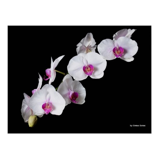 Orchid-flowers, by Sinisa Botas Posters