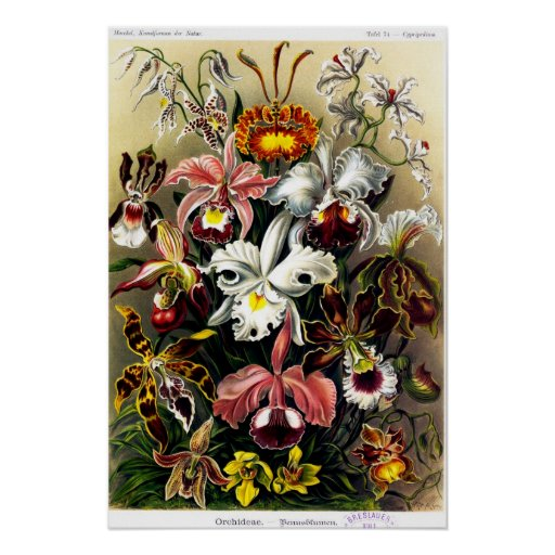 Orchideae (orchids) Poster