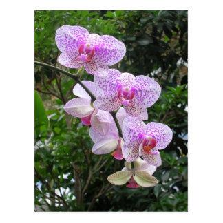 Orchidée Cartes Postales
