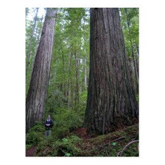 Oregon Redwoods Postcard