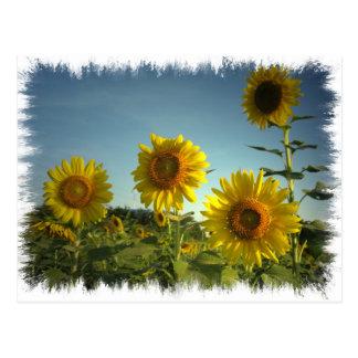 Organic Garden Sunflower Postcard