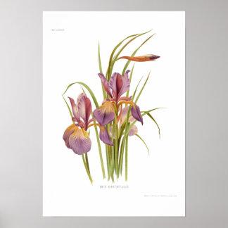Orientalis d iris posters