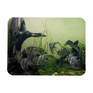 Orinoco Angelfish Photo Magnet
