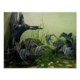 Orinoco Angelfish Poster