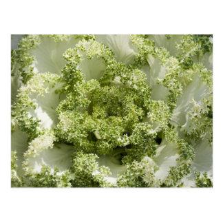Ornamental Cabbage Postcard