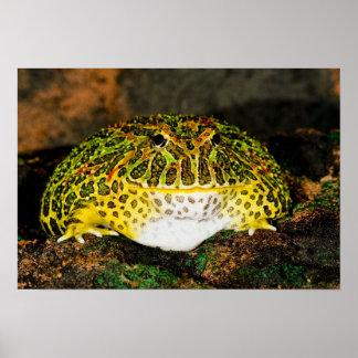 Ornate Horn Frog, Ceratophrys ornata, Native Poster