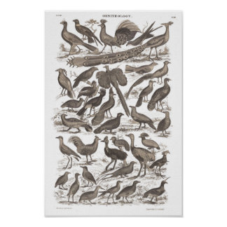 Orthinology species antique print