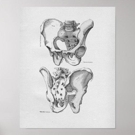 Os pelviens d'illustration vintage d'anatomie