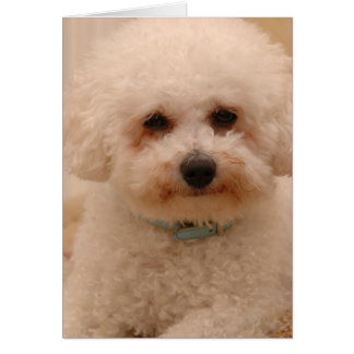 Oscar the Bichon Frise Card