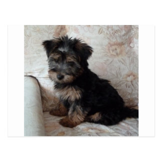 Oscar the Yorkshire Terrier Puppy Postcard