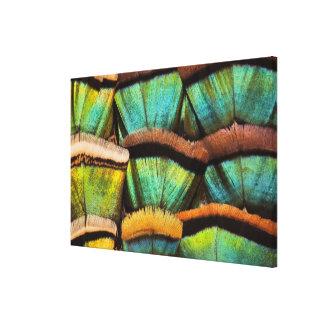 Oscillated Turkey feathers Canvas Print