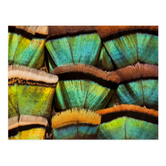Oscillated Turkey feathers Postcard