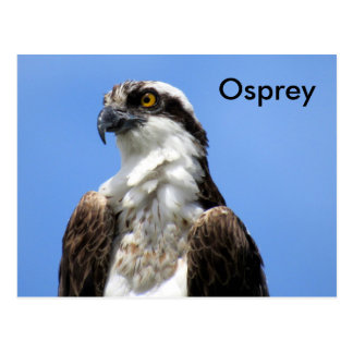 Osprey (4964) Learning Postcard