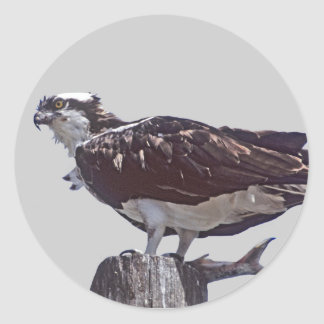 Osprey Bird Classic Round Sticker