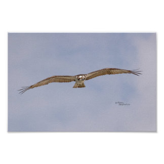 Osprey Bird Flying Poster