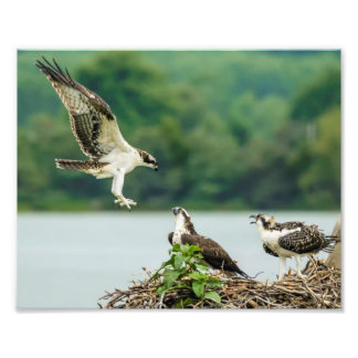 Osprey Clear For Landing 8x10 Print